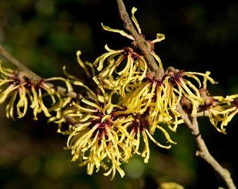 10 Seeds Hamamelis  Primavera , witch hazel Seeds