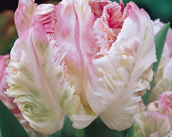 Weber's Parrot Tulip 10 Bulbs - EXOTIC & NEW - 12/+ cm Bulbs