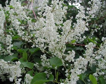 Polygonum aubertii Silver Lace Vine Plant FREE SHIP