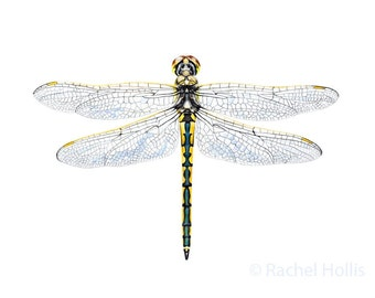 "8x10"" Australian Emerald Dragonfly - Natural History Art Print - Nursery Insect Print"