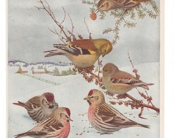 Vintage Print Birds North America Winter Scene Color Book Plate 1950s