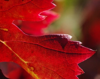 Leaf leaf of automne_en download immediat_nature_provence flamboyante_Photographie