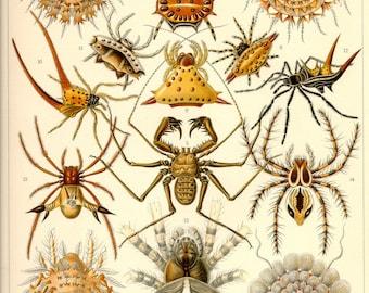 Vintage Illustration, Arachnid, Ernst Haeckel, Spider Poster, Giclee Print, Art Nouveau, Spiders Print, Vintage Science Print, Spider Art