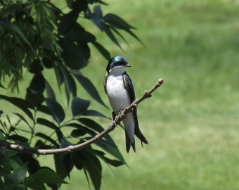 Father Tree Swallow