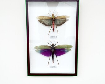 Taxidermy. Locusts. Taxidermy. Insects, cabinet of curiosities. Titanacris albipes and Tropidacris hooked. Locusts in the Amazon.