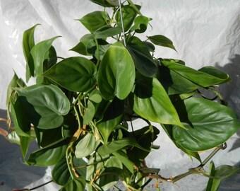 Philodendron Cordatum Plant in 6 inch pot