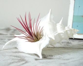 Dreamy Air Plant Design | Tillandsia with Seashell | Beach Wedding | Coastal Home Decor