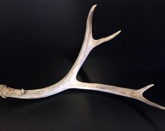 Brown 4 Point Mule Deer Antler Shed Horn - 416