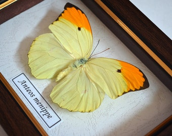 Anteos Menippe Yellow Brimstone Real Butterfly From Peru Framed In Shadowbox