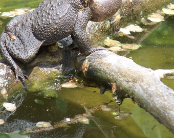 Toad Calling and Reflection, Wildlife photography, Digital Download