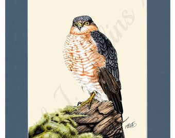 """6"""" × 9"""" Sparrowhawk print   in A4 blue mount. 6""""×9"""" print on watercolour paper."""