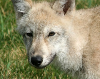 Grey Wolf Pup Photograph, Nature Photography, Gray Wolf Baby Animal Photo