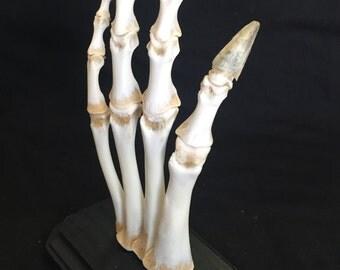 Skeletal alligator foot