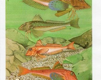 Vintage Gurnard Print - 1960's Gurnard Fish Plate