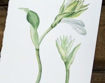 ORIGINAL watercolour painting of white hosta flowers Botanical illustration Wall art Botanical painting Floral illustration aquarelle