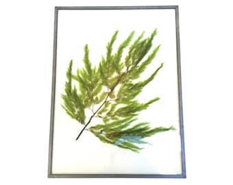 Vintage Pressed Fern~ Real Pressed Maidenhair Fern~ Botanical Art Herbarium ~16x12~ Pressed in glass