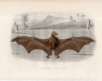 1850 BAT ENGRAVING - original antique print - rare hand colored French Chiroptera print - La Roussette by Traviès - perfect for Halloween!