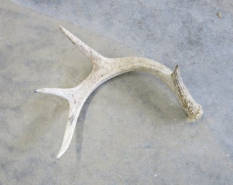 Deer Antler Shed Dog Chew Craft Photography Supply Home Decor Taxidermy Oddity Natural Charm from Montana for the Man Cave 9 inches #6