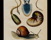 1850 Antique SEA LIFE print, calamari, cuttlefish, squid, conch, snail, lovely hand colored engraving 166 years old