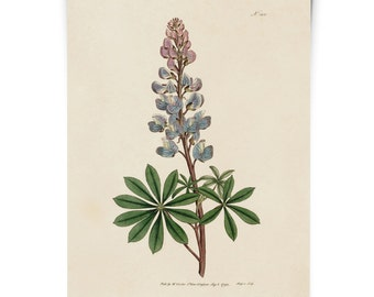 Bluebonnet Flower Botanical Print. Lupinus Texas State Flower. from William Curtis Botanical Magazine. wildflowers plants poster - CP278