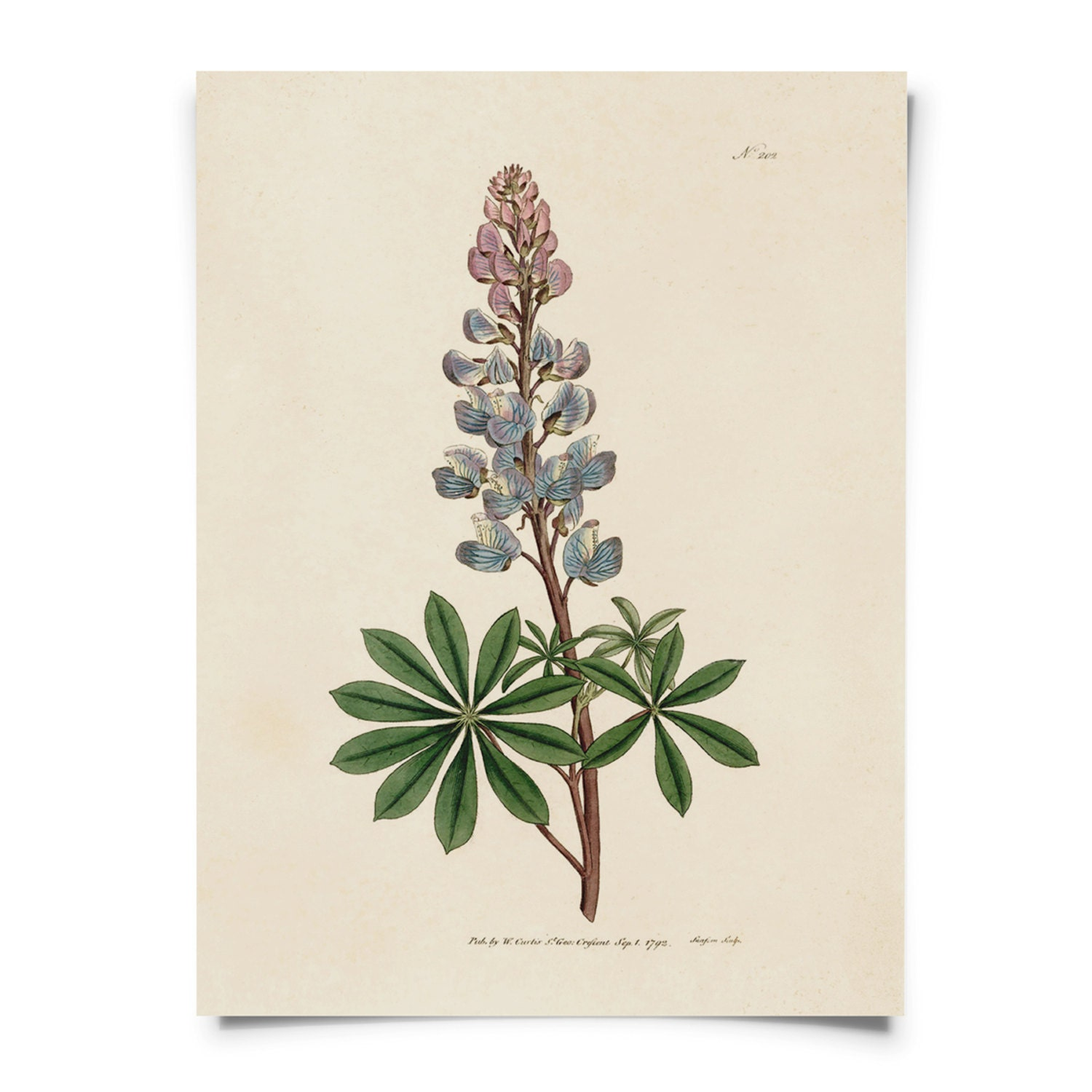 Bluebonnet Flower Botanical Print Lupinus Texas State Flower