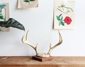 vintage mounted antlers no. 1
