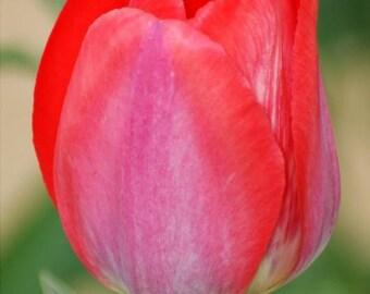 "5x7 Nature Inspired Photo Greeting Card or Print--Happy Anniversary--#108--Happy Birthday--#109--""Majestic Tulip"""
