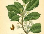 EUROPEAN BEECH - Botanical book plate 367