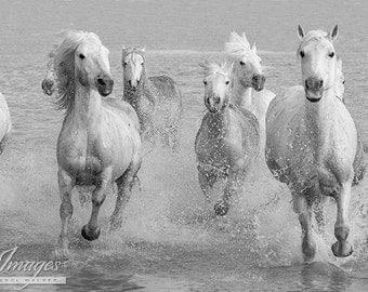 Nine White Camargue Horses Run - Fine Art Horse Photograph - Horses - Fine Art Print - Camargue - Black and White