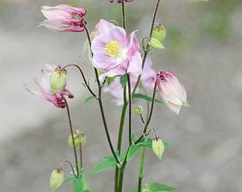 Columbine Photo, spring time lovely, home decor, cottage decor, wall decor, botanical art, dreamy