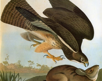 John James Audubon Reproductions - Birds of America.  Swainson's Hawk [Common Buzzard], 1827-1835. Fine Art Print.
