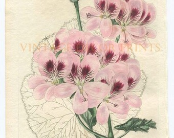 Botanical Print The Geranium, 1827 Robert Sweet Original Hand Coloured Engraving of a Pelargonium, Beautiful Decorative Botanical Engraving