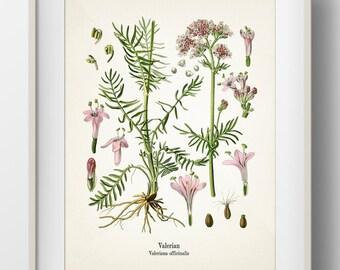 Valerian - Valeriana officinalis - KO-32 - Fine art print of a vintage botanical natural history antique illustration