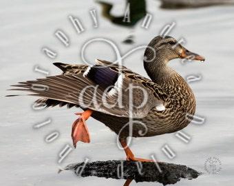 8x10 Duck Photograph