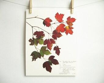Douglas Maple Tree Print, #217b, colorful autumn leaves botanical art print pressed maple leaves fall home decor herbarium specimen artwork