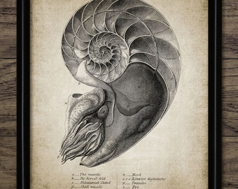 Nautilus Print - Nautilus Illustration - Vintage Marine Art - Marine Biology Art - Printable Art - Single Print #314 - INSTANT DOWNLOAD