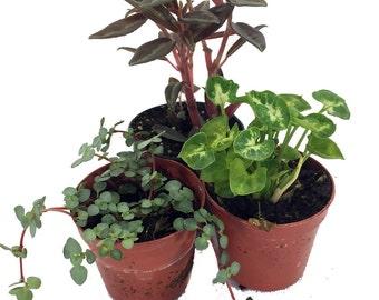 "Terrarium & Fairy Garden Plants - Assortment of 3 Different Plants in 2"" Pots"