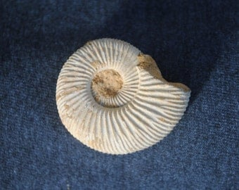 Natural Mantelliceras Ammonite Fossil