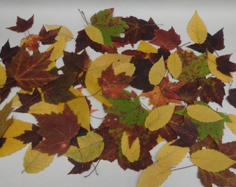 Real Pressed Fall Leaves 75