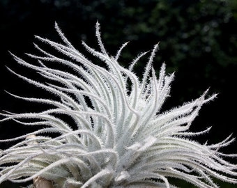 Air Plant FAVORITE Tillandsia | Tectorum Medium