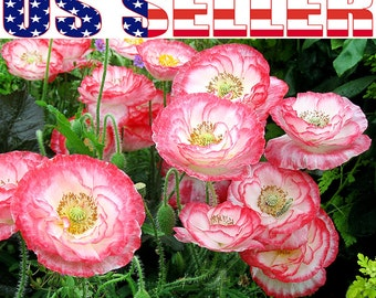 500+ Shirley Poppy Seeds Papaver Rhoeas Mixed Colors Decorative Ornamental