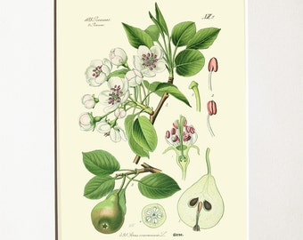 Pirus Communis L (Pear) - Reproduction of a botanical vintage print