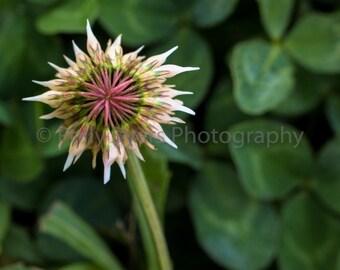 Clover Star Wildflower Fine Art Photography