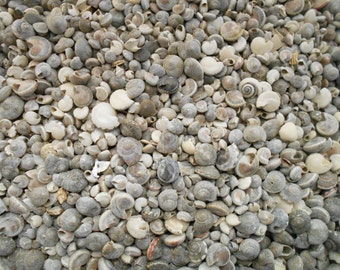 "1 lb (about 1800 shells) Natural Umbonium Mini Shells (1/4"") Crafts Seashells BULK"
