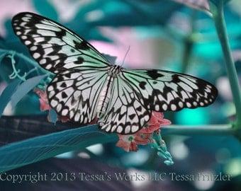 White Monarch 8x10 glossy print