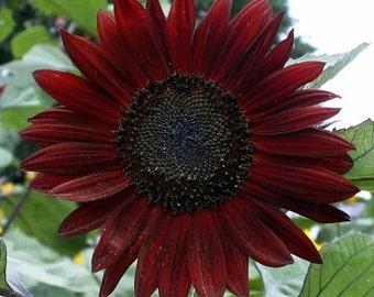 Sunflower Seeds - Chocolate 20+ Seeds   Helianthus annuus NON-GMO