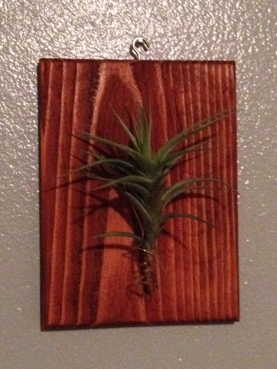 Wall art air plant living art wall decor free plant for Air plant wall art