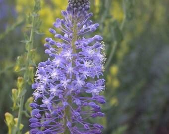 Merwilla Plumbea 10 Seeds, African Perennial Bulbous Scilla Natalensis, Medicinal Garden Plants