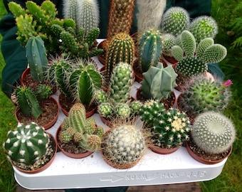 Set of 10 Mixed Cactus Plants in 5.5cm Pots! Indoor/House Plants. Terrariums. Living Walls. Fairy Garden. Wedding Favours