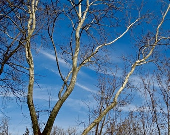 Nature Photography, Winter, Tree, Sycamore, Blue Sky, Bare Branches, Sun, Great Lakes, Wall Art, Michigan, Forest, Woods, Lonely, White